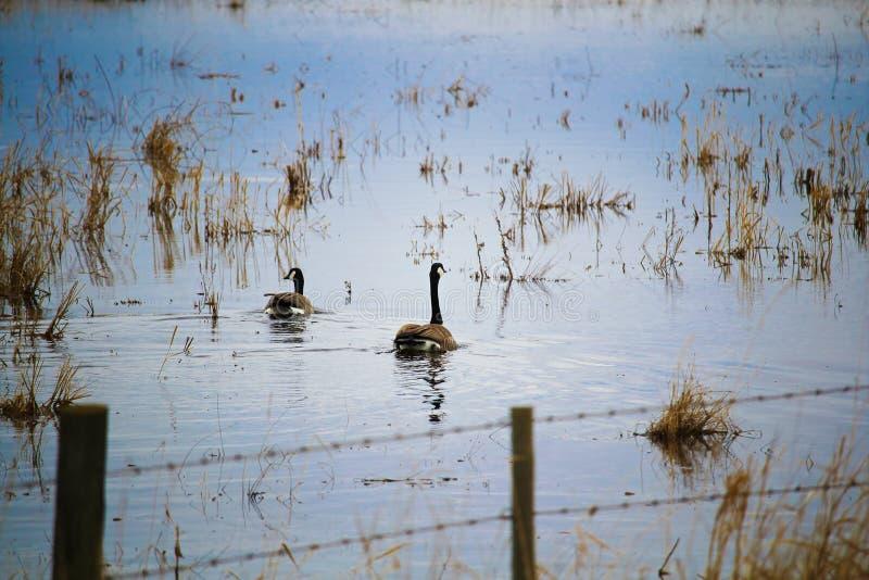 Une paire d'oies canadiennes nageant sur un champ rempli d'eau photos stock