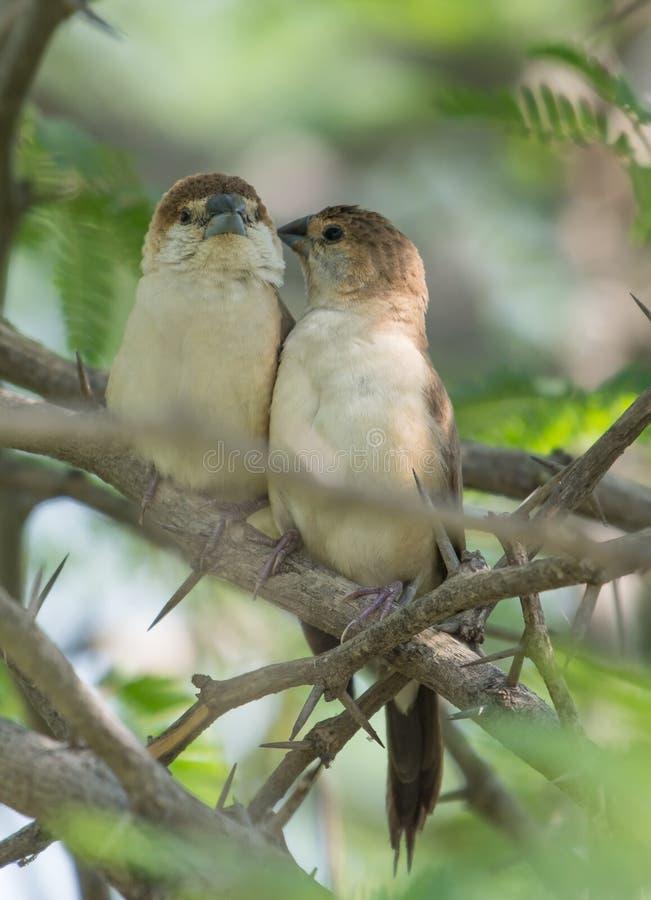 Une paire d'oiseau de Silverbill d'Indien photos stock