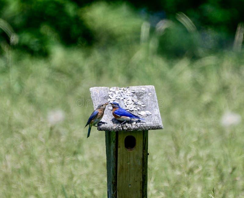 Une paire d'oiseaux bleus orientaux photos libres de droits