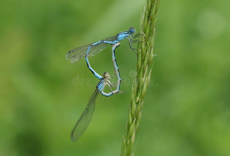 Une paire de accouplement de cyathigerum bleu commun renversant d'Enallagma de Damselfly étant perché sur une lame d'herbe photos libres de droits