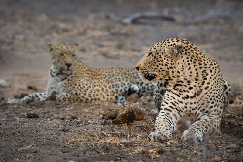 Une paire de accouplement de repos de léopards photos stock