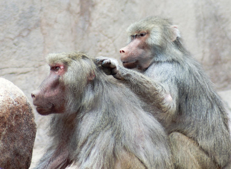 Une paire de babouins Sit Grooming Each Other images stock