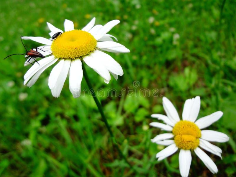 Une paire de camomille sauvage fleurit avec deux scarabées sur une des fleurs photo stock