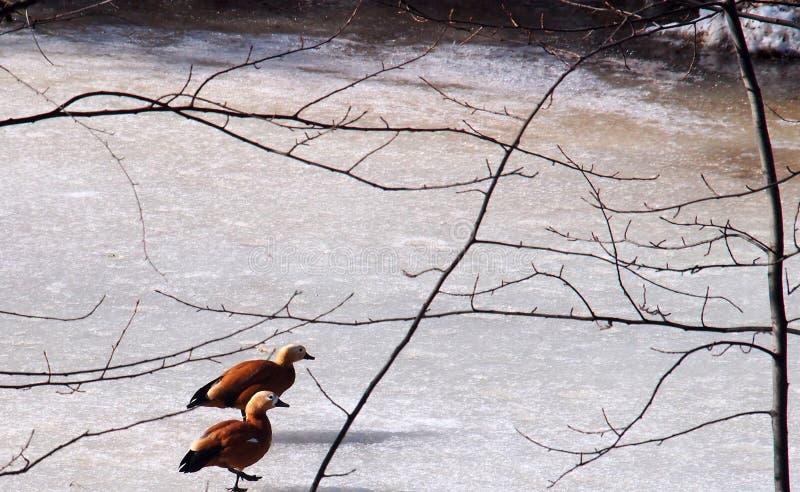 Une paire de canards marchant sur la glace d'un étang congelé images stock