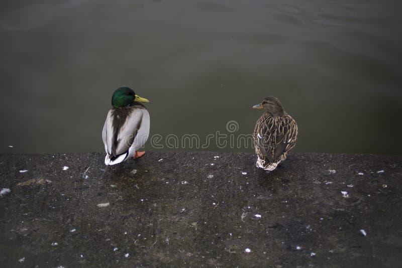 Une paire de canards se reposant ensemble comme un vieux ménage marié image stock