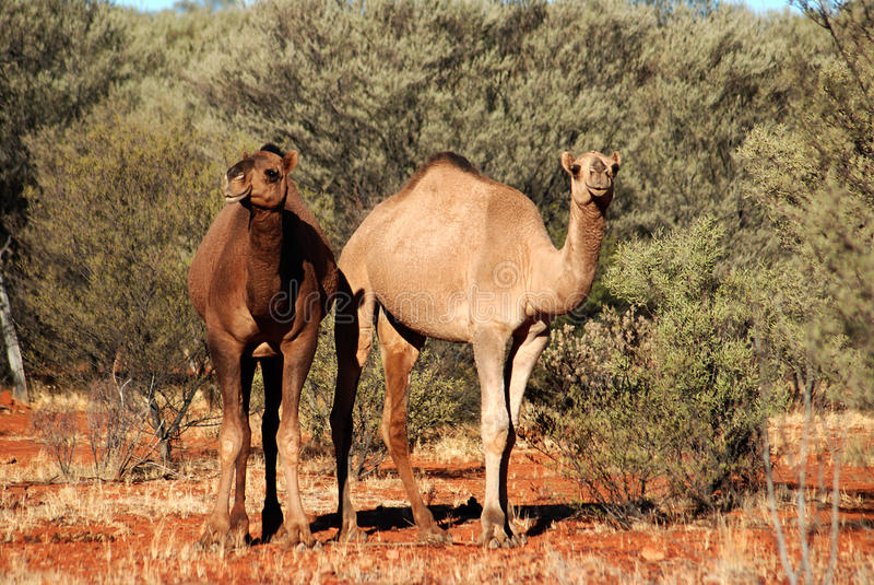une paire de chameaux sauvages australiens photo stock