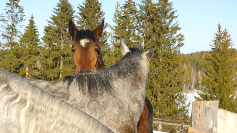 Une paire de chevaux affichant l'affection Cheval blanc et brun caressant images stock