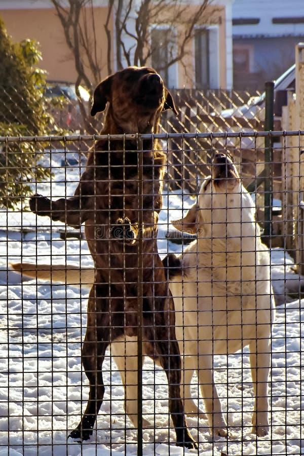 Une paire de chiens de garde territoriale image libre de droits