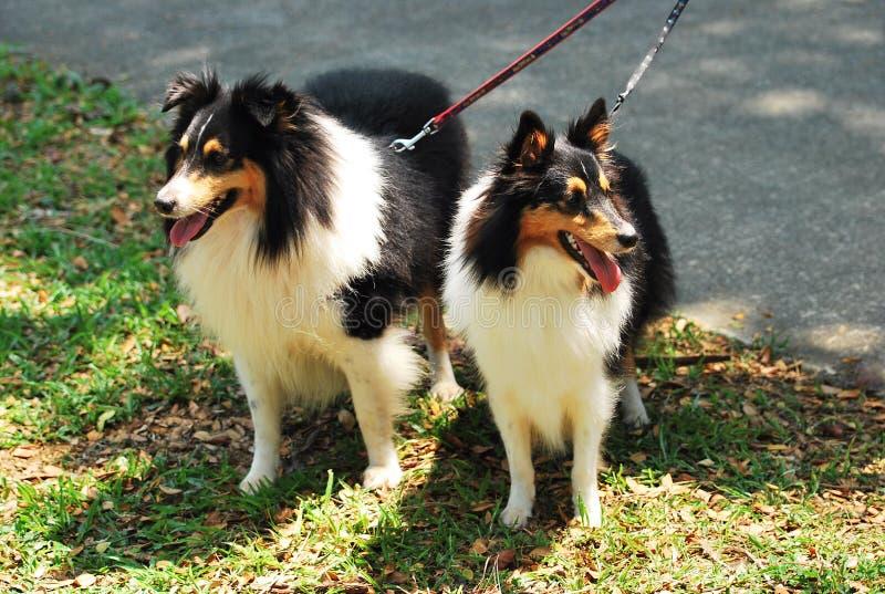Une paire de chiens rugueux noirs de colley sur la laisse photographie stock