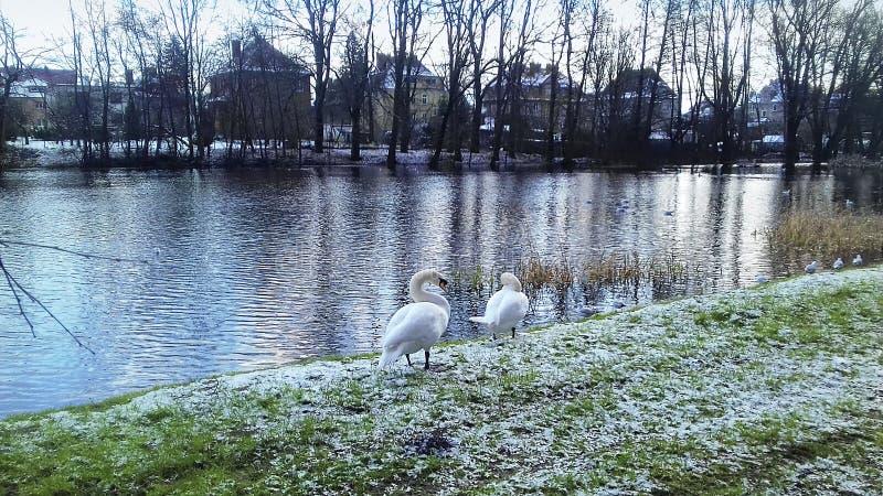 Une paire de cygnes d'hiver photo stock