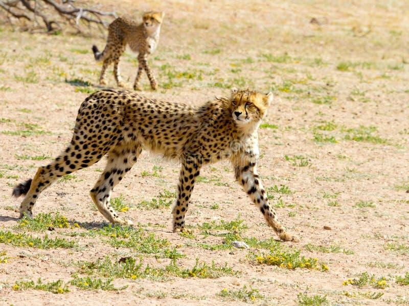 Une paire de guépards a photographié en parc national franchissant les frontières de Kgalagadi entre l'Afrique du Sud, la Namibie images libres de droits