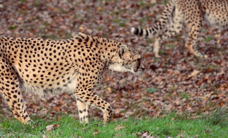 Une paire de jubatus d'acinonyx de guépards images libres de droits