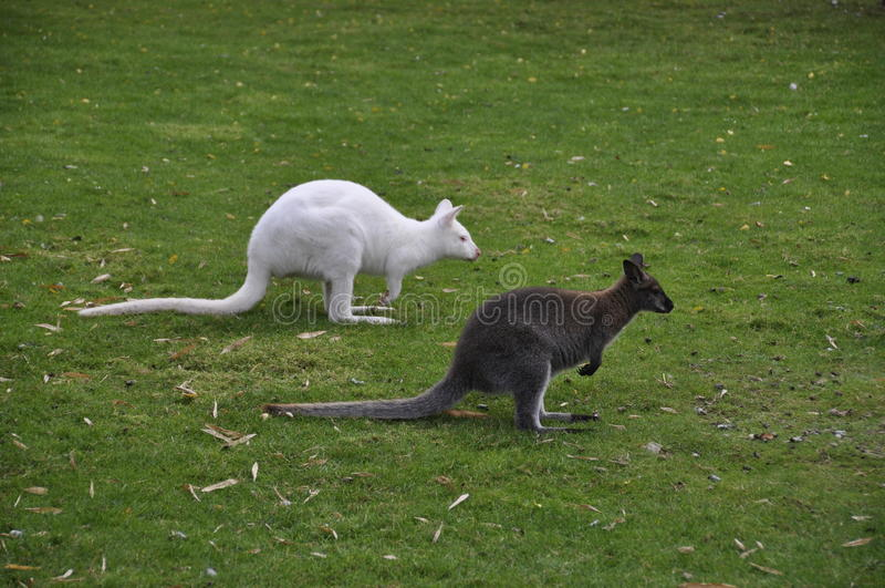 Une paire de kangourous photo libre de droits