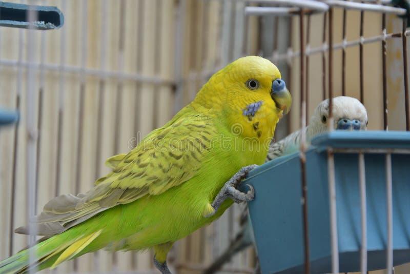 Une paire de perroquets australiens dans la cage photographie stock libre de droits