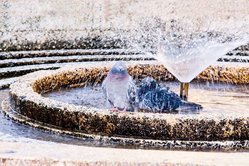 Une paire de pigeons ayant un bain dans un jour chaud image libre de droits