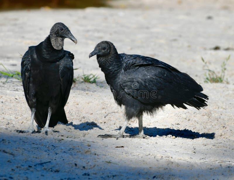 Une paire de vautours moines américains image libre de droits