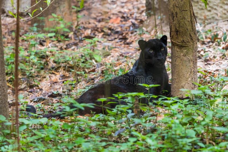 Une panthère noire est la variante melanistic de couleur du grand chat photo libre de droits