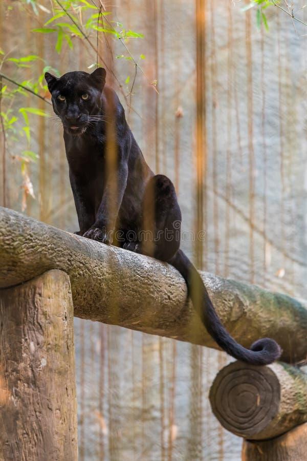 Une panthère noire est la variante melanistic de couleur du grand chat photo stock
