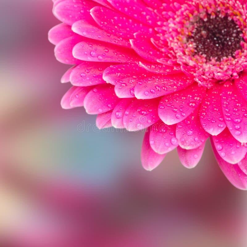 Une partie d'un gerbera de fleur avec le foyer sélectif de baisses de rosée photographie stock