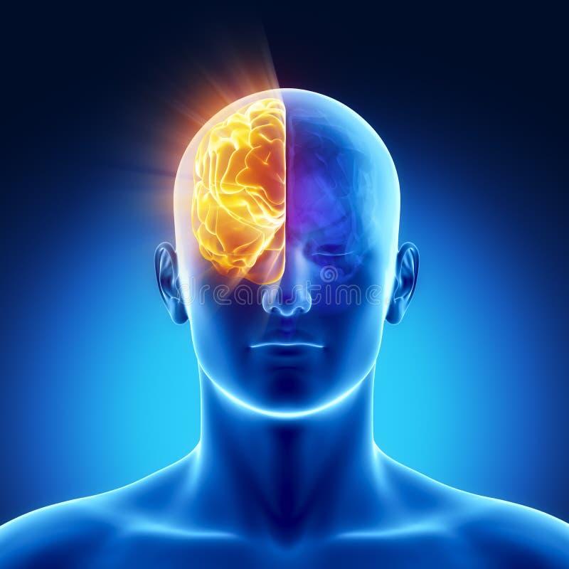 Une partie de cerveau - le bon HÉMISPHÈRE illustration libre de droits