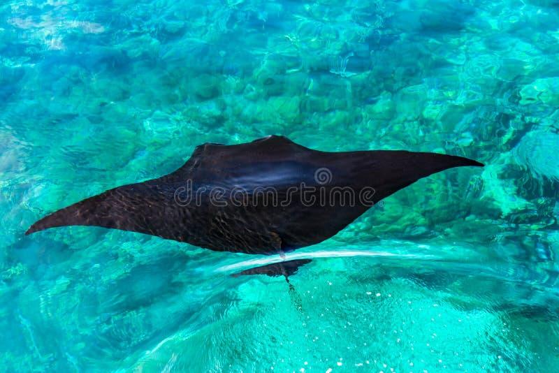 Une pastenague noire nage en mer bleue claire photo stock