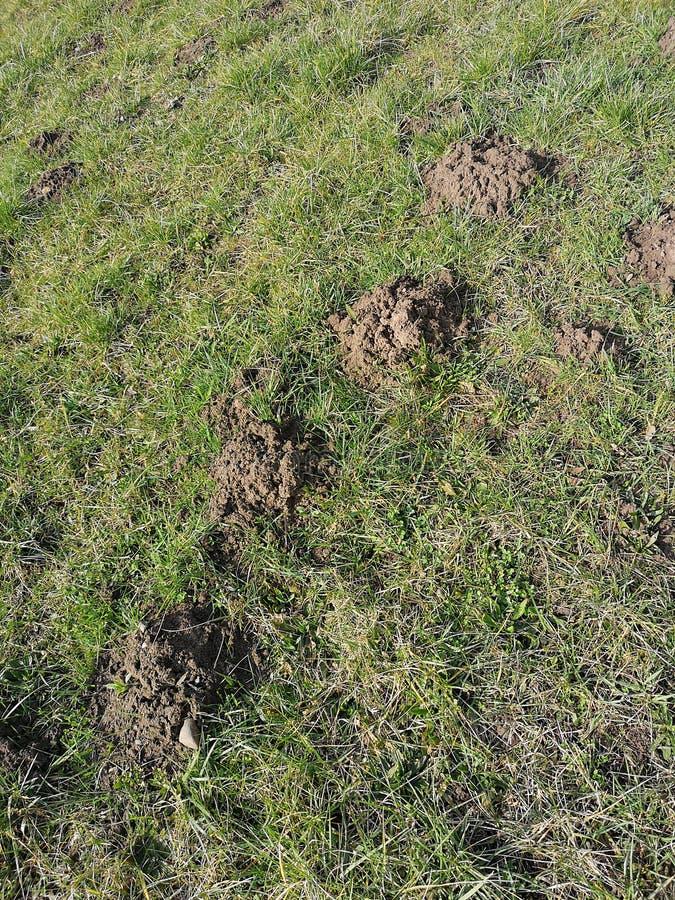 Une pelouse ruinée par des taupes photo libre de droits
