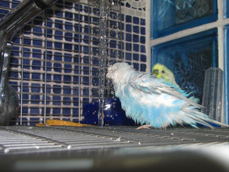 Une perruche colorée mignonne ont une douche image stock