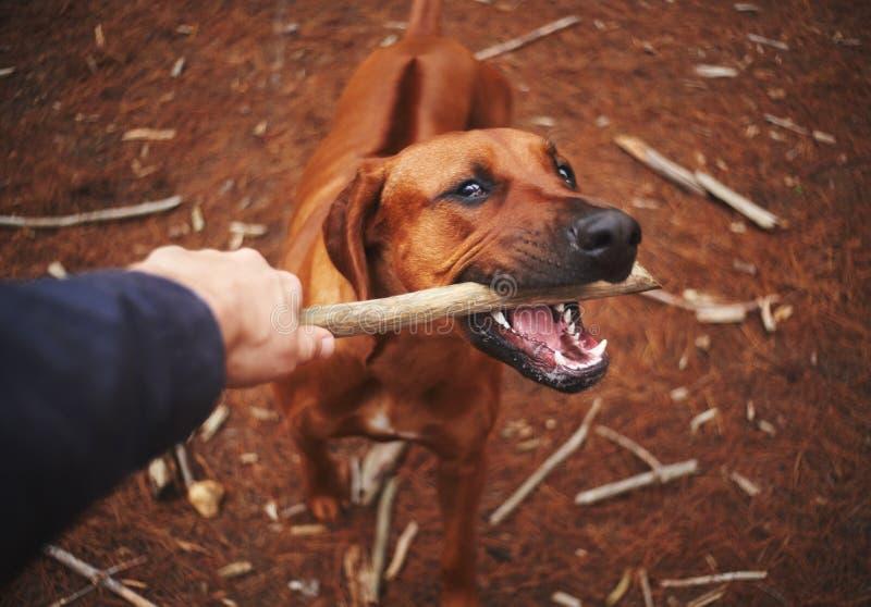 Une personne tirant le bâton de la bouche du chien photographie stock libre de droits