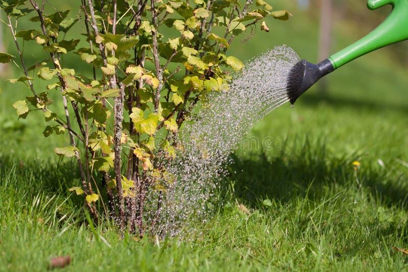 Une personne verse un arbuste qui a déjà séché vers le haut d'un peu avec une boîte d'arrosage photographie stock libre de droits