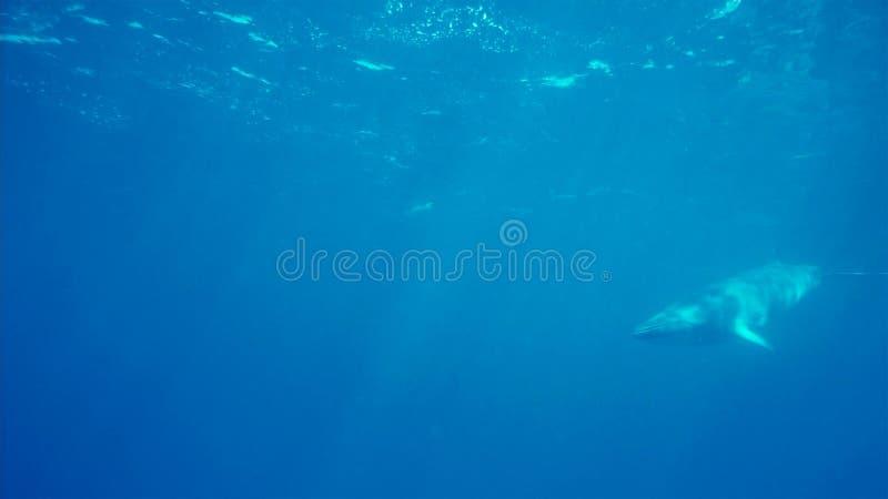 Une petite baleine sous-marine, péninsule antarctique images stock