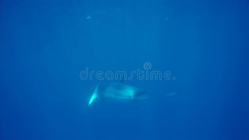 Une petite baleine sous-marine, péninsule antarctique photographie stock