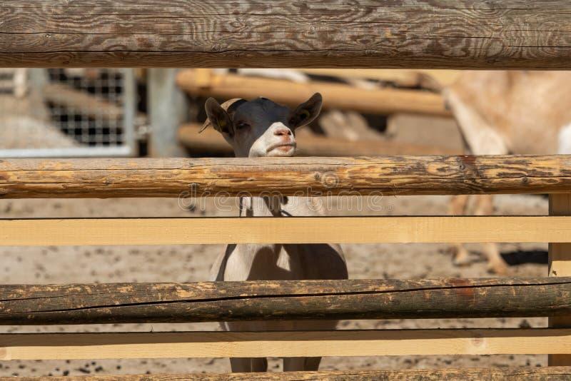 Une petite chèvre blanche derrière une barrière en bois photos libres de droits