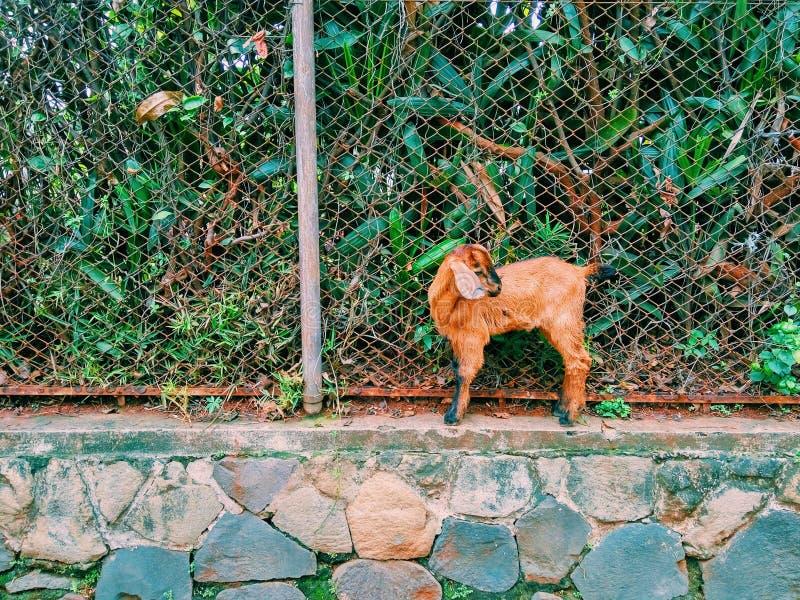 Une petite chèvre brune image stock