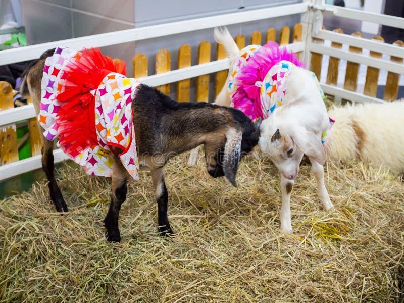 Une petite chèvre brune mignonne avec la robe rouge de fantaisie et la chèvre blanche avec la robe rose de fantaisie combattent d images libres de droits