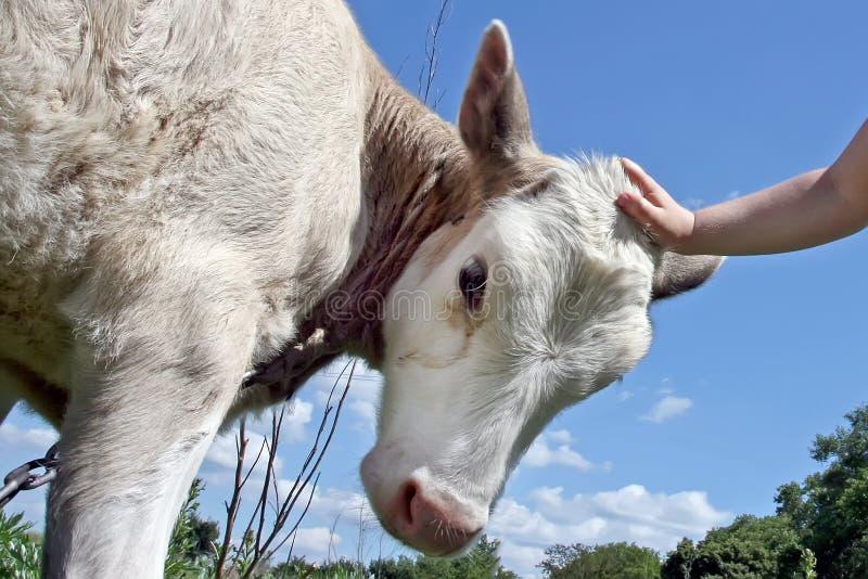 Une petite fille mignonne dans le Panama et le slip est caresse par veau photo stock