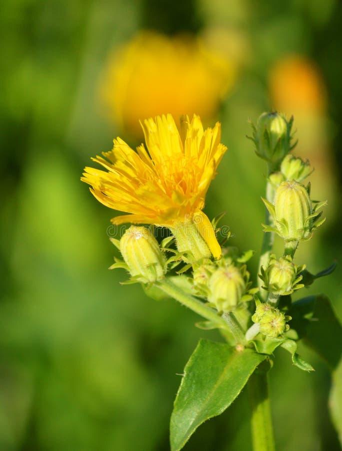 Une petite fleur jaune Belle fleur photographie stock