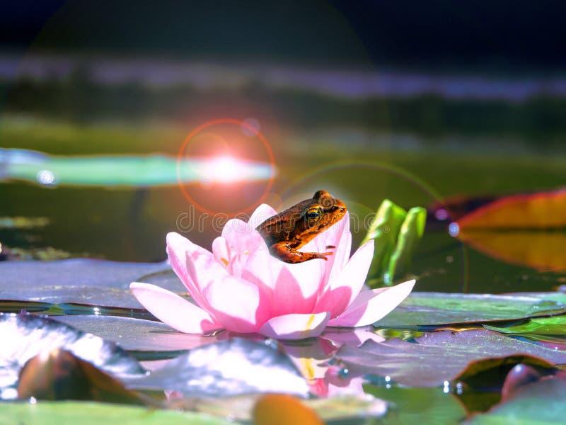 Une petite grenouille en fleur de lotus dans les rayons image libre de droits