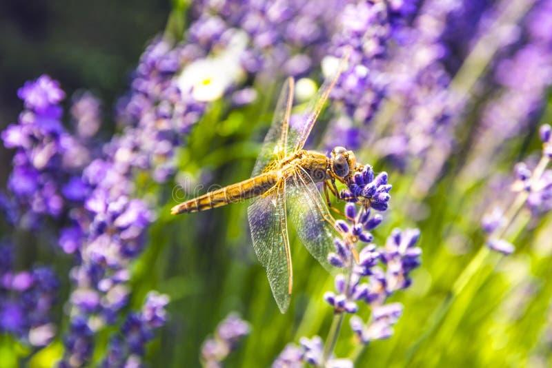 Une petite lavande avec la libellule jaune photographie stock