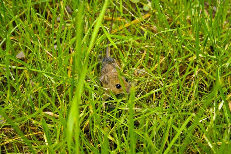 Une petite musaraigne se cache dans l'herbe devant un chat photos stock