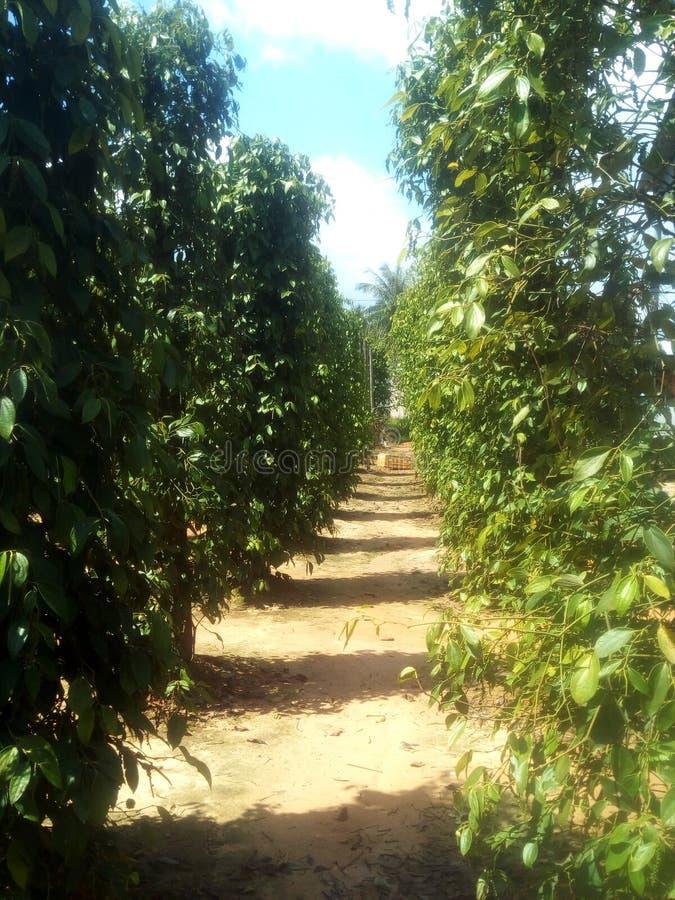 Une petite plantation de poivre au Vietnam photographie stock libre de droits