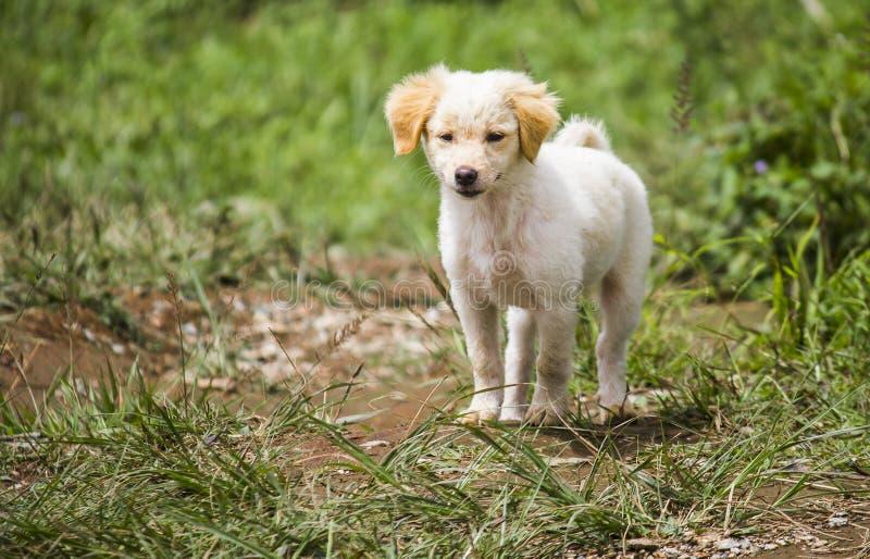 Une petite position joyeuse blanche de chiot sur l'herbe photo libre de droits