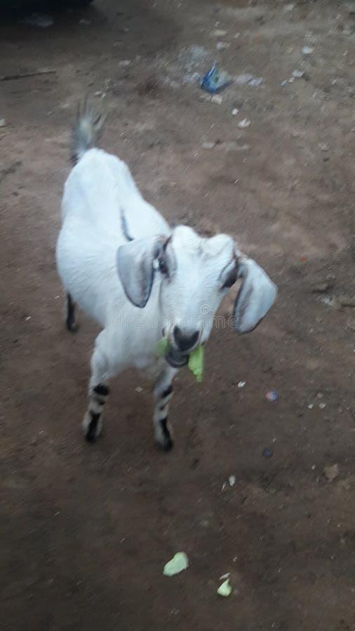 Une petite race de chèvre image stock