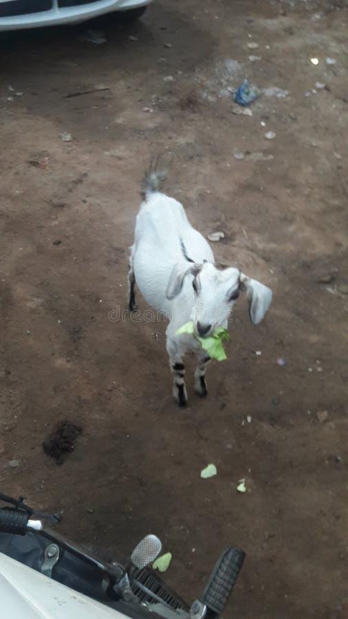 Une petite race de chèvre images stock
