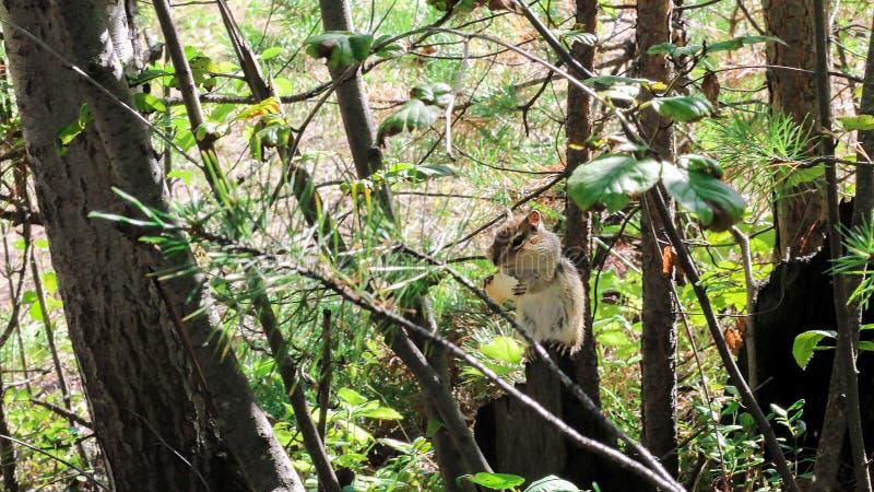 Une petite tamia sauvage, se reposant sur un tronçon, mangeant des biscottes brouillé images libres de droits