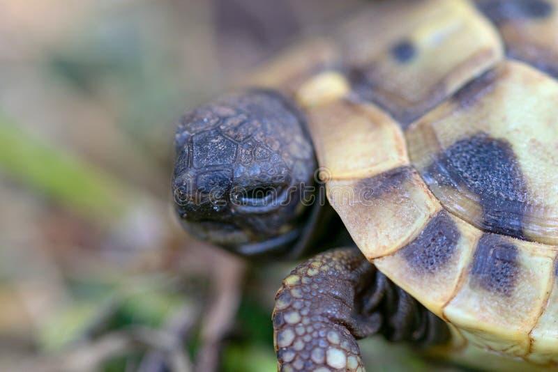 Une petite tortue europ?enne de terre dans l'?levage photographie stock
