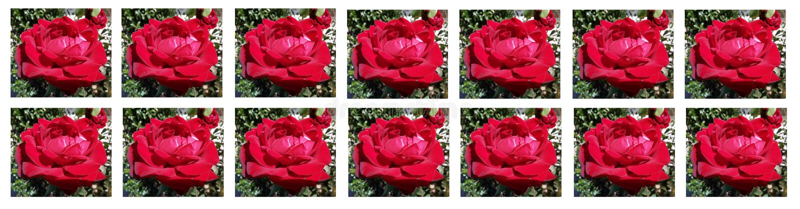 Une photo étonnante d'belles roses rouges dans le jardin ! Carte pour le jour du ` s de Valentine ! images libres de droits