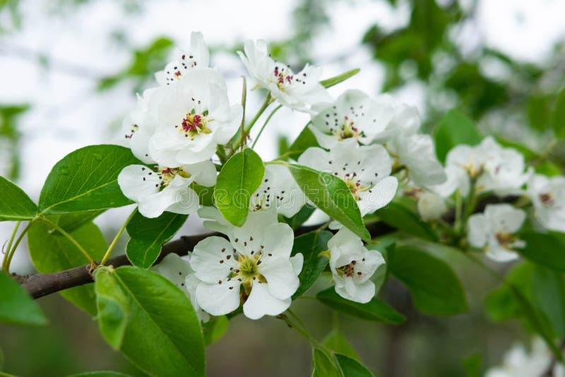 Une photo d'une branche d'un poirier fleurissant Macro fleurs blanches de tir de ressort de poire photographie stock libre de droits