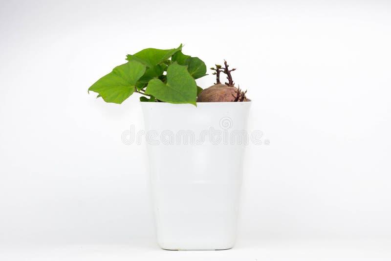 Une photo d'une patate douce dans un pot poussant ses feuilles photographie stock