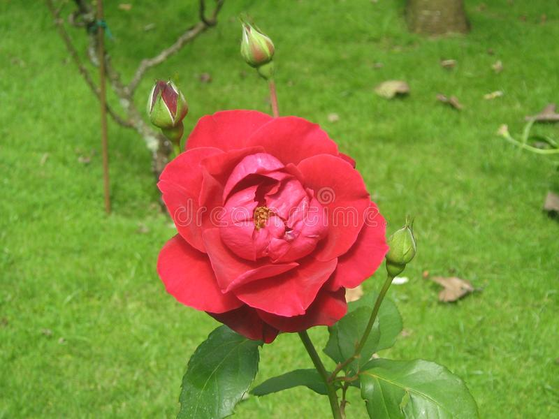 Une photo d'upclose d'une belle rose de rouge photographie stock
