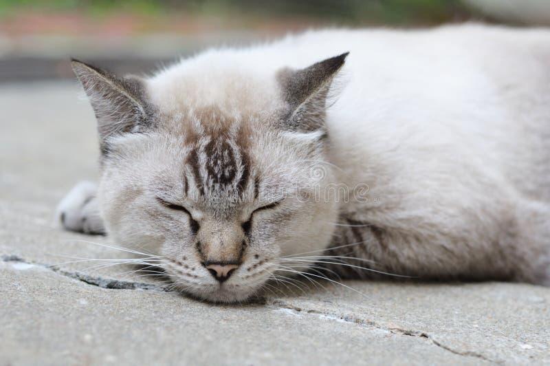Une photo de plan rapproché d'un chat siamois Lynx point de sommeil de graisse image stock